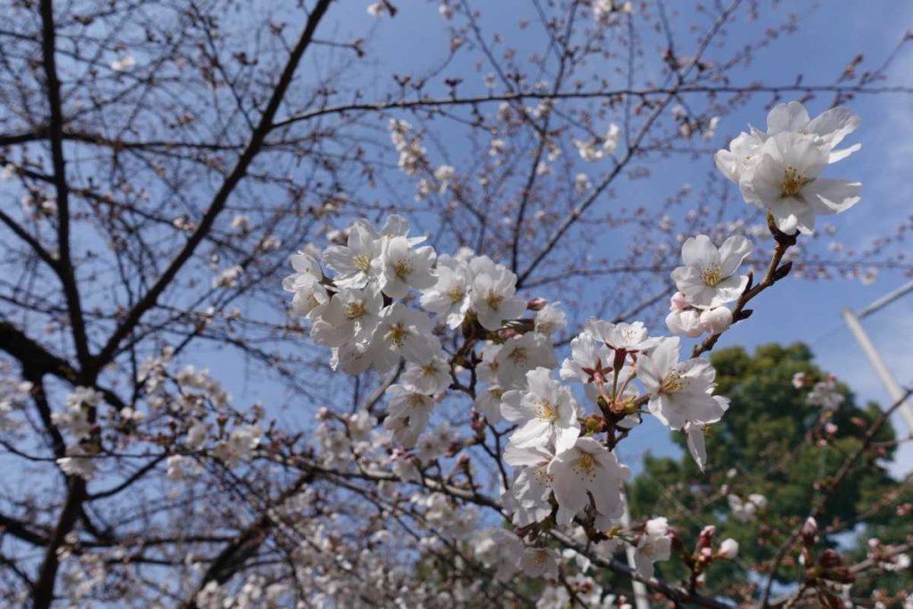 日大前の桜